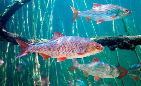 Речная плотва — самая многочисленная рыба наших водоёмов